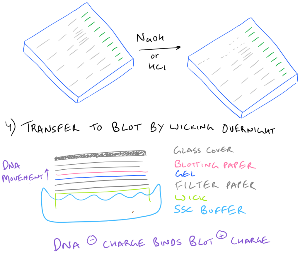 Southern Blot Step by Step