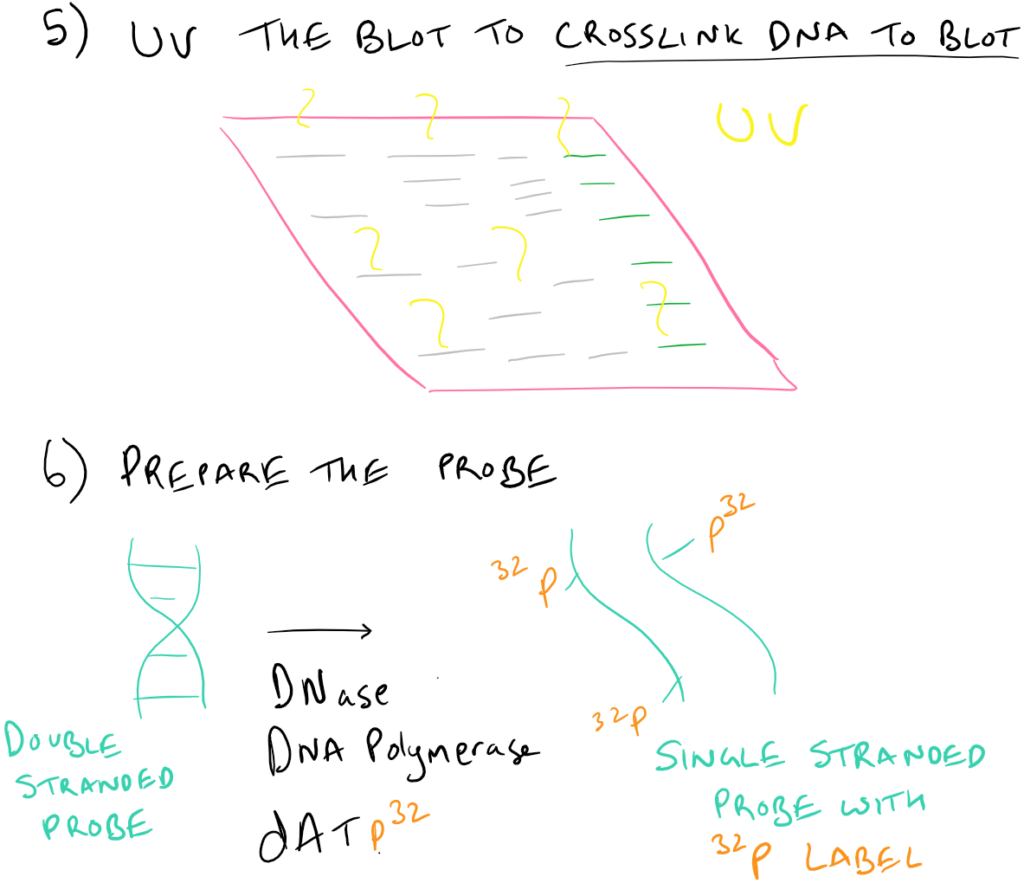 Southern Blot Tips and Tricks