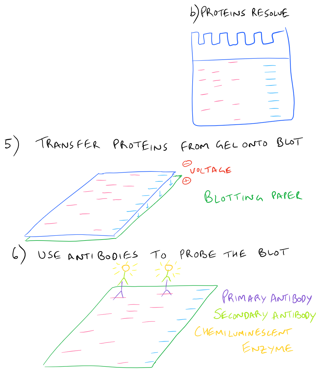 Western Blot Step By Step