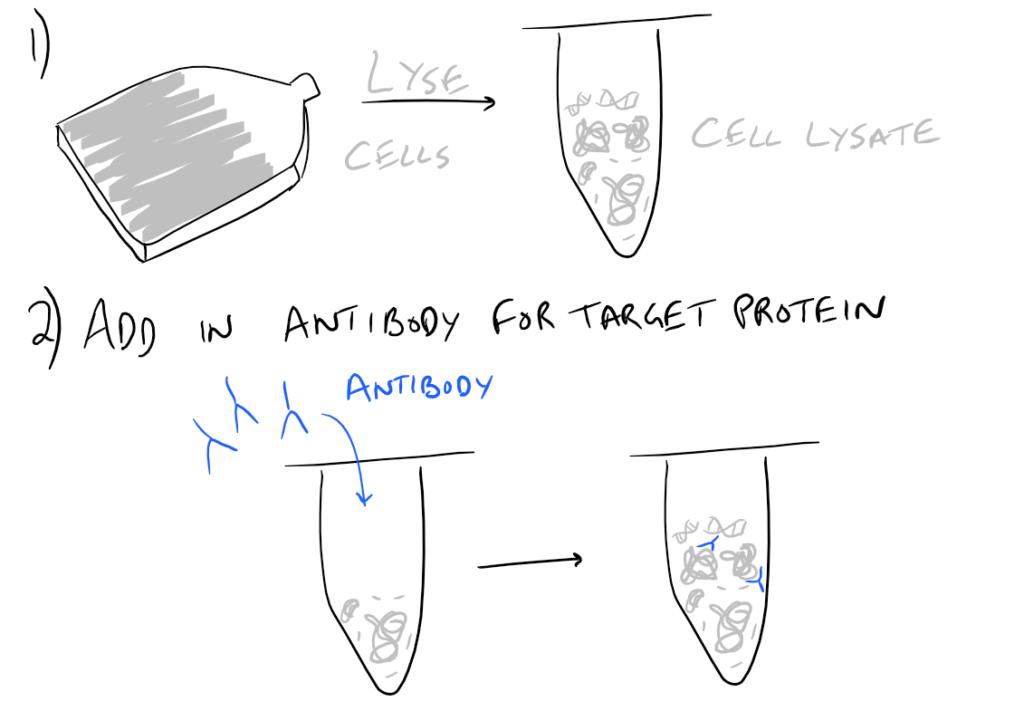 Immunoprecipitation Scientific Method
