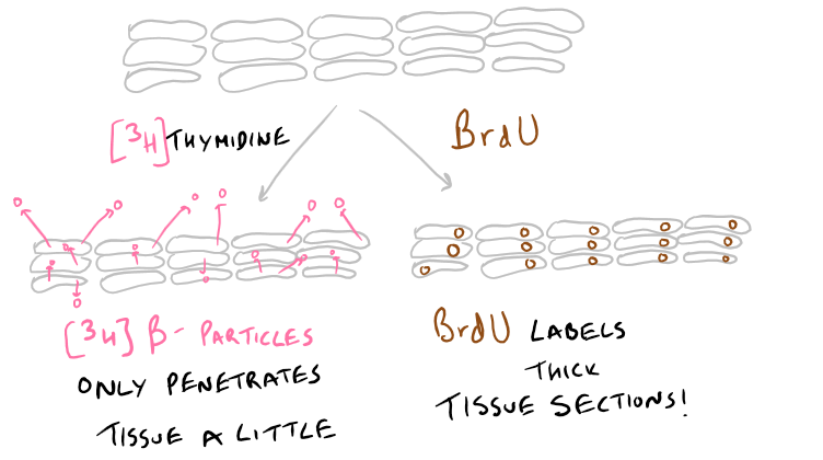 Thymidine Cell Proliferation Assay vs BrdU Assay