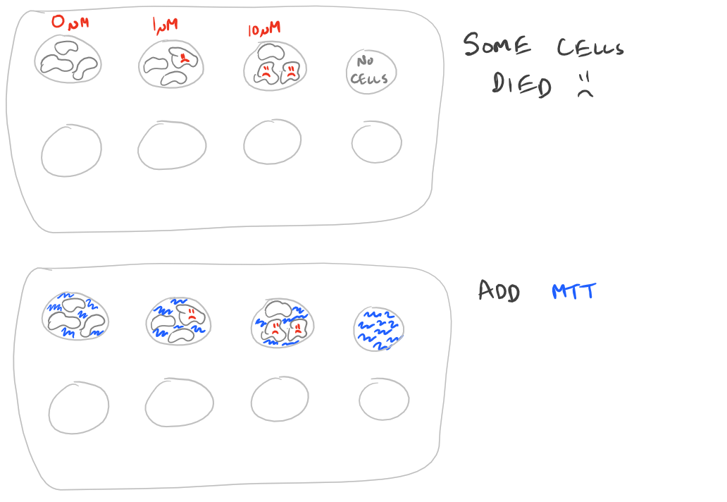 Cell Viability MTT Assay Steps