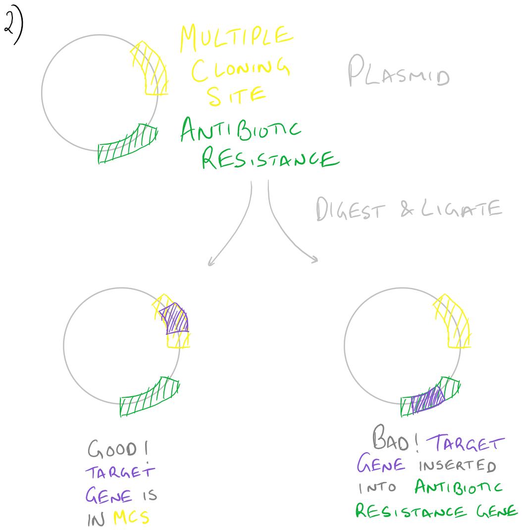 Primer mismatch -- Gene cloning error
