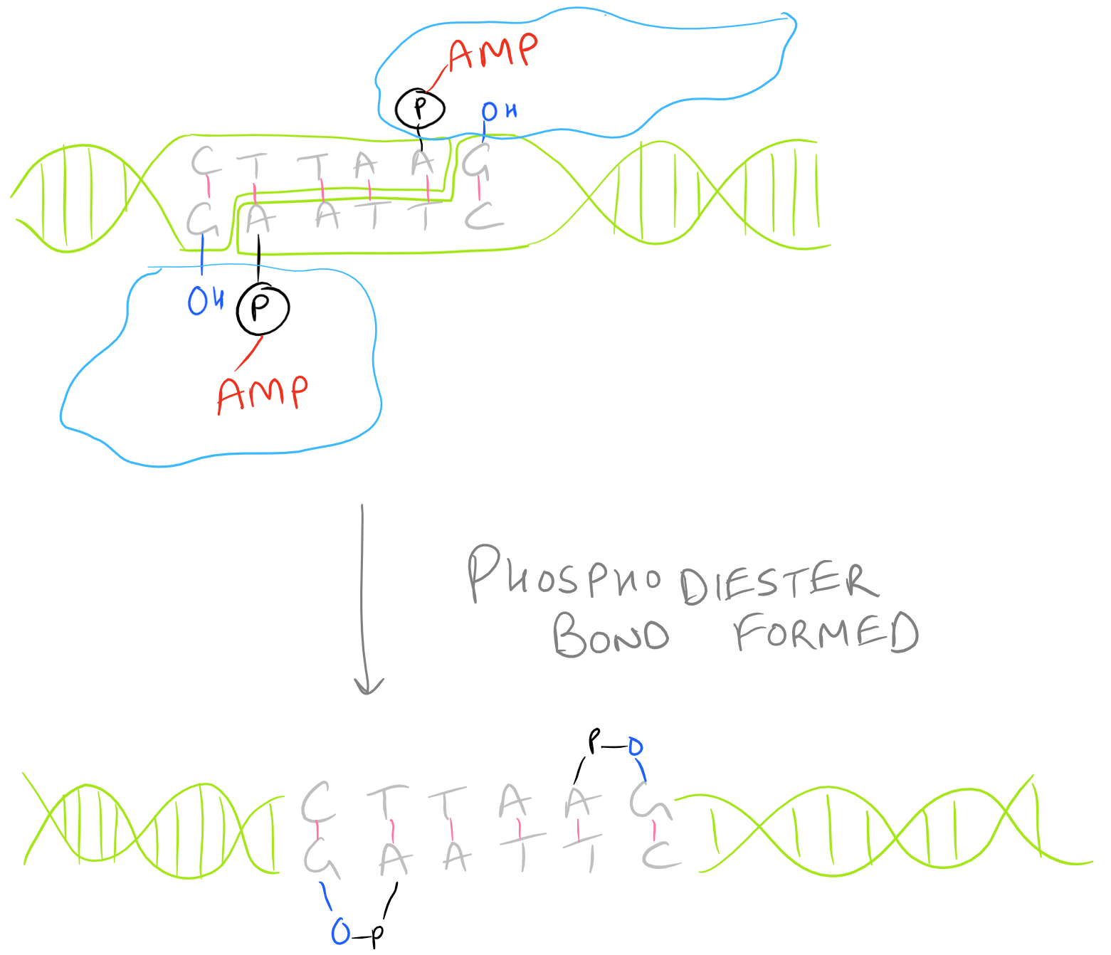 Phosphodiester Bond Formation during Ligation