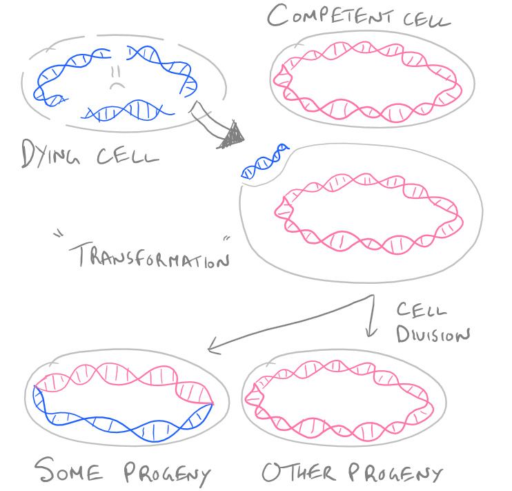 Transformation Protocol with DNA