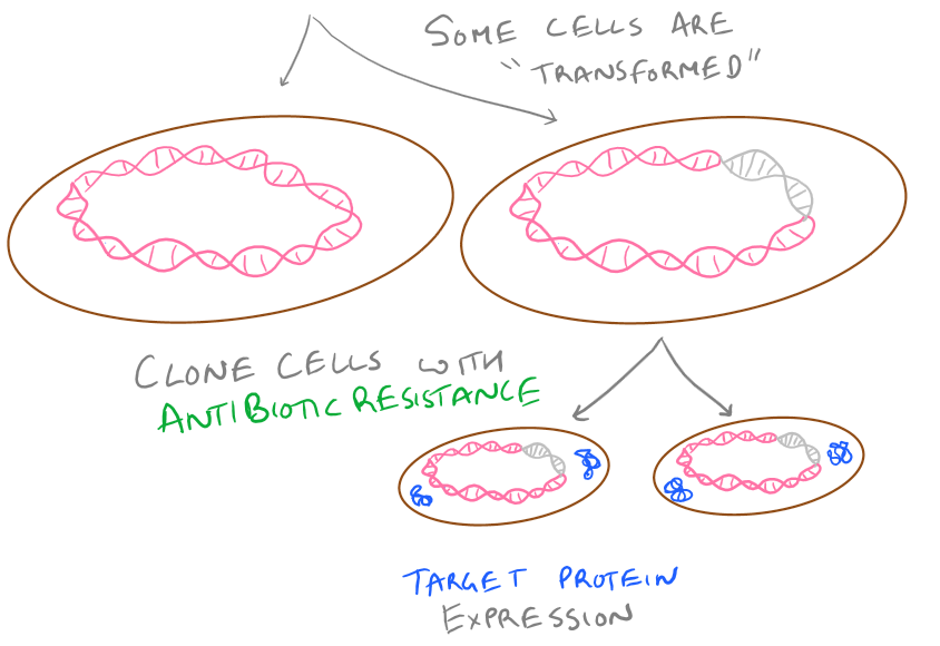 Selecting Transformed Bacteria with Antibiotic resistance in a plasmid