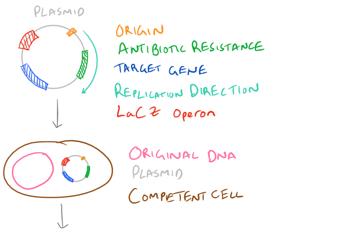 Transformation in Bacteria with LacZ